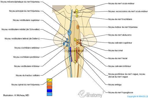 Sch mas d 39 anatomie du cerveau for Floor of fourth ventricle