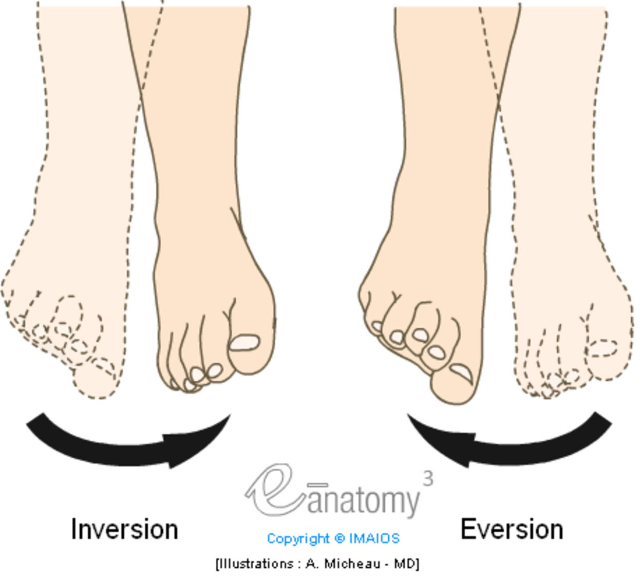 Inversion/Eversion : Mouvements, Atlas d'anatomie, Illustration médicale