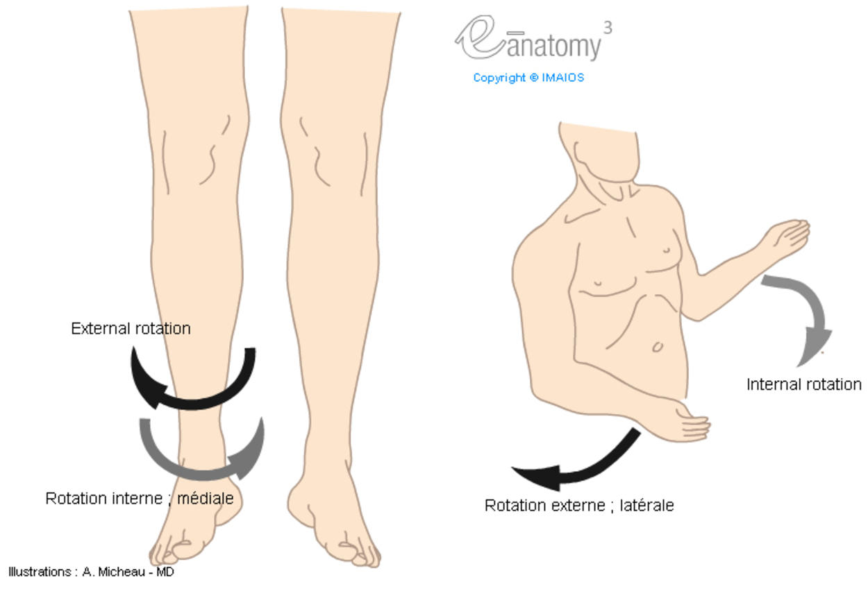 Lateral rotation; External rotation / Medial rotation; Internal rotation (Anatomical illustrations : Movements)