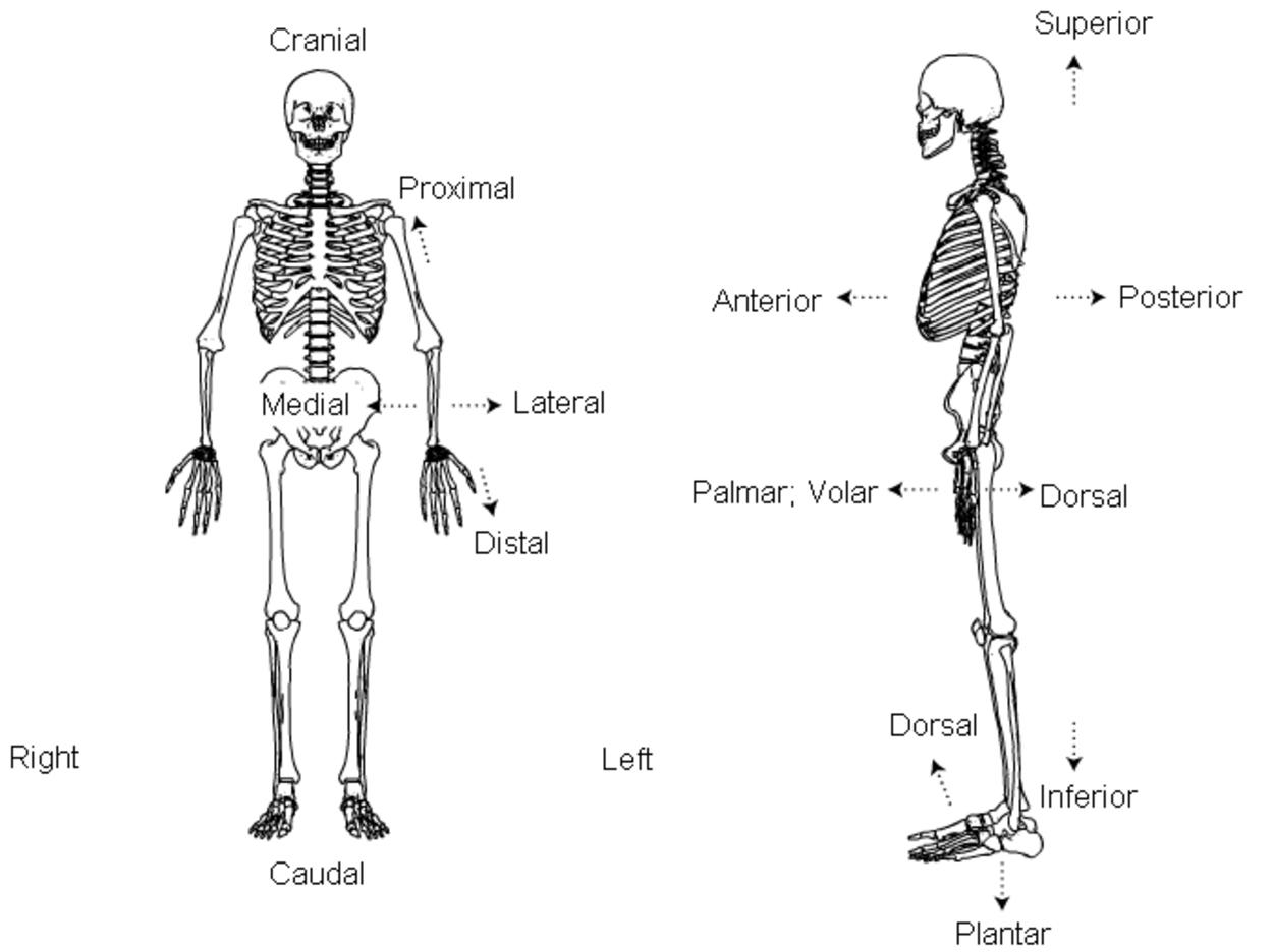 Standard anatomical position : Diagram : Right, Left ,Medial, Lateral, Anterior, Posterior, Ventral, Dorsal, Frontal, Superior, Inferior, Cranial ,Caudal, Rostral, Apical, Middle, External, Internal, Proximal,Distal ,Palmar; Volar ,Plantar