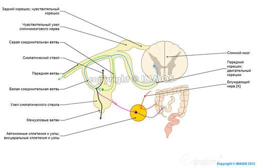 нервной системы - Схемы