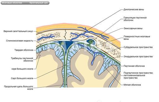 оболочка головного мозга,