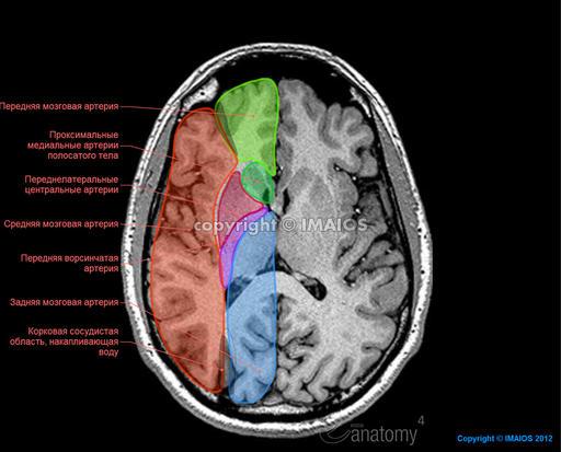области - Головной мозг