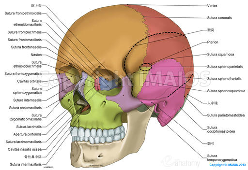 Skull: anatomical illustrations: Cranial sutures, Bones of cranium, Parietal bone, Frontal bone, Occipital bone, Sphenoid; Sphenoidal bone, Temporal bone, Ethmoid; Ethmoidal bone, Inferior nasal concha, Nasal bone, Maxilla, Zygomatic bone, Mandible