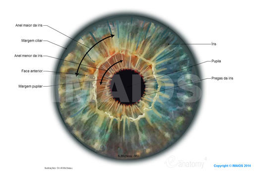 Iris: Outer border of iris, Pupil, Folds of iris