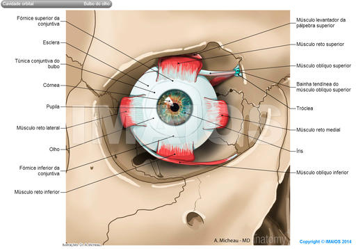 Extraocular muscles; Extrinsic muscles of eyeball: Superior rectus, Inferior rectus, Medial rectus, Superior oblique, Trochlea, Inferior oblique