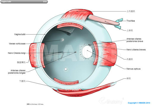 Fascial sheath of eyeball (Tenon) - Extraocular muscles; Extrinsic muscles of eyeball: Superior rectus, Inferior rectus, Medial rectus, Superior oblique, Trochlea, Inferior oblique