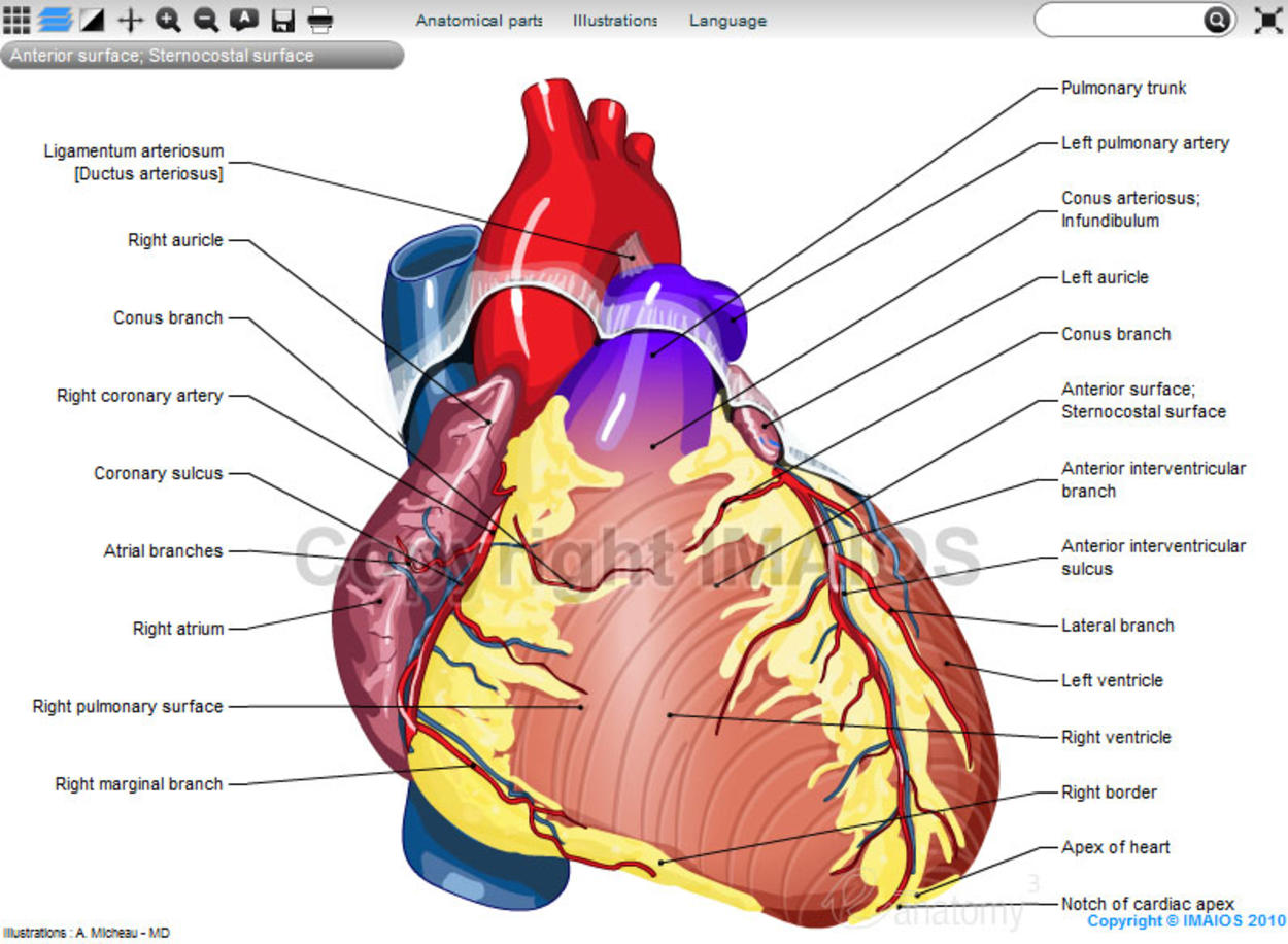 Anatomy of the heart: anatomical illustrations and structures, 3D model and photographs of dissection
