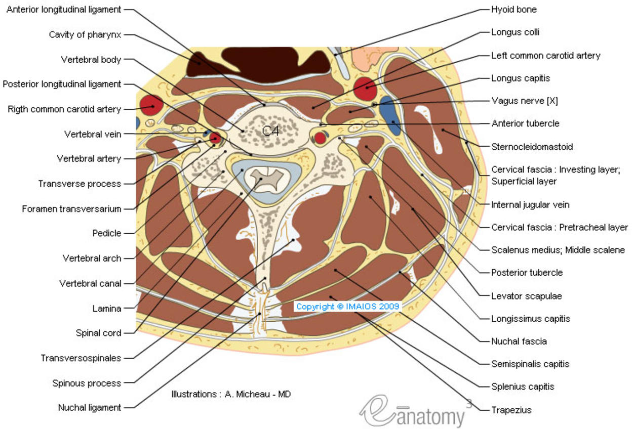 cross section anatomy of neck and vetebral column with transverse slice of cervical vertebra C4