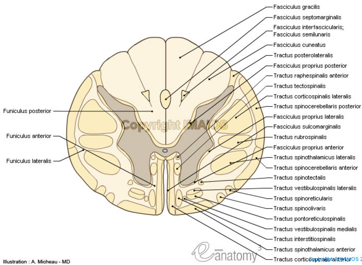 Anatomy : Spinal cord, Funiculi of spinal cord, Tectospinal tract, Anterior funiculus; Ventral funiculus, Cuneate fasciculus, Gracile fasciculus