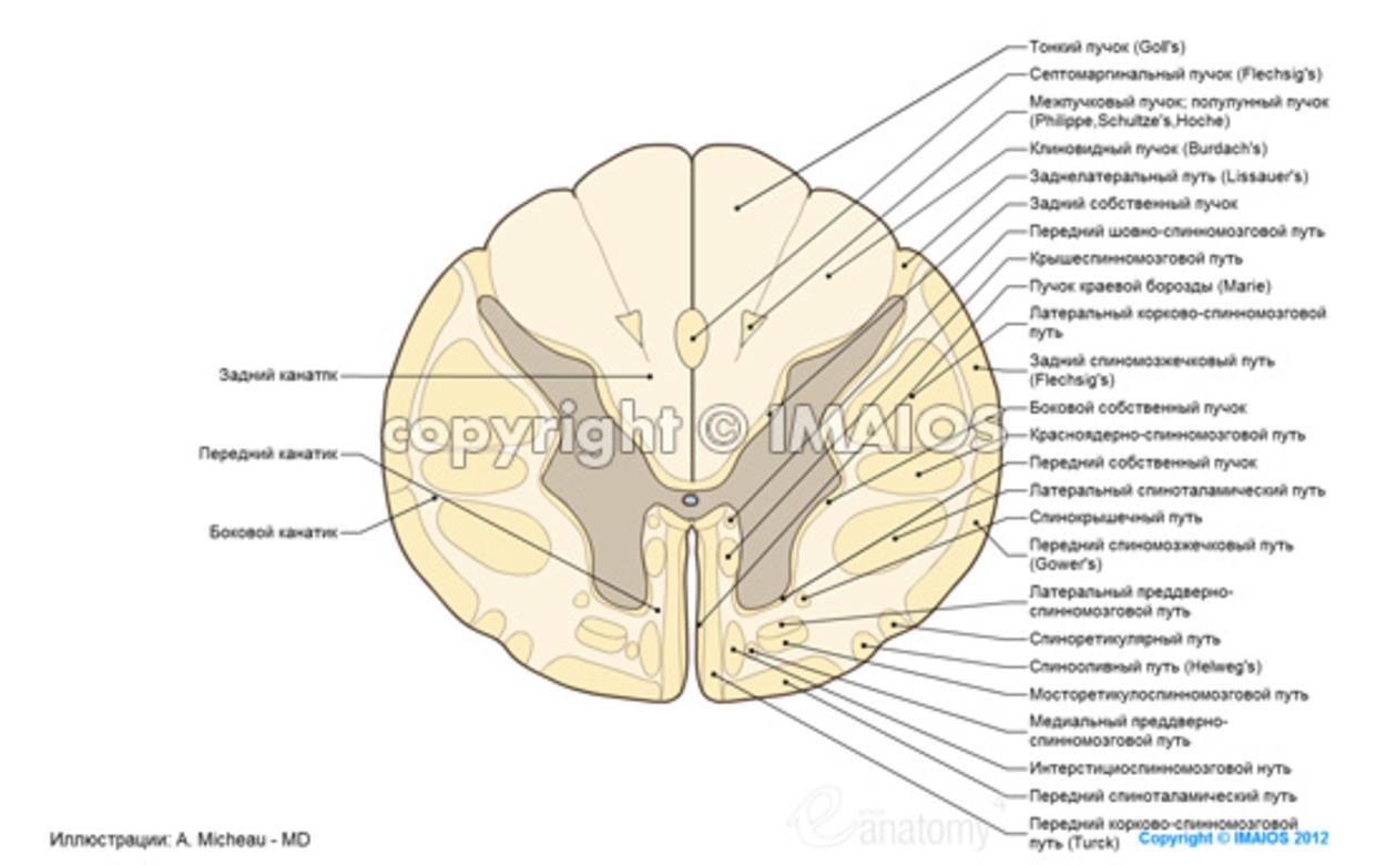 Анатомия : Спинной мозг