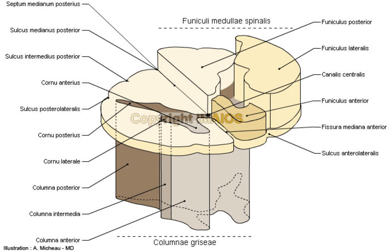 Funiculi of spinal cord - Anatomy - Illustrations: A. Micheau - MD : Grey columns, Central canal, Anterior median fissure; Ventral median fissure, Posterior horn; Dorsal horn, White substance