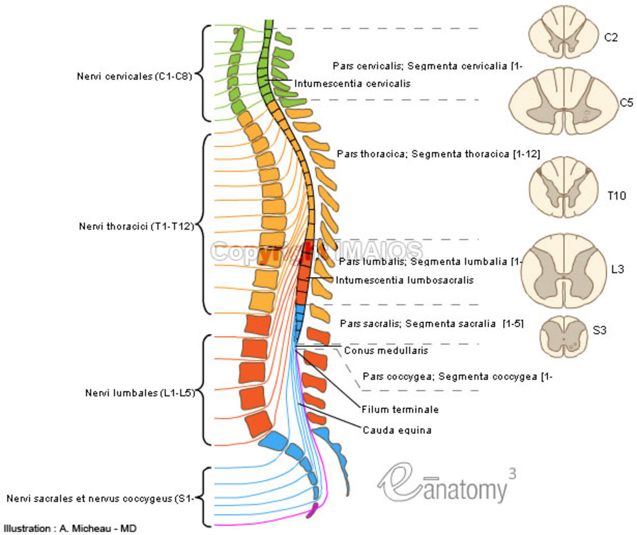 Anatomy - Spinal cord : Cervical enlargement,  Lumbosacral enlargement,  Medullary cone,  Spinal part of filum terminale, Cauda equina, Spinal nerves