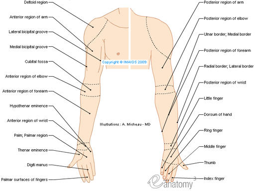 Regions of upper limb - Human anatomy (Drawings) : Anterior region of arm, Deltoid region, Brachial region, Lateral bicipital groove, Cubital fossa, Antebrachial region, Hand region, Carpal region, Dorsum of hand, Palm; Palmar region, Thenar eminence, Hypothenar eminence, Metacarpal region, Digiti manus